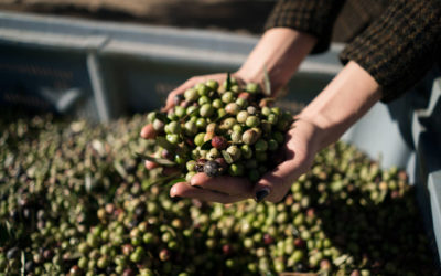 AUBOCASSA olive oil: We were invited to the harvest and came back enthusiastic!