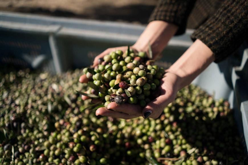 AUBOCASSA: El aceite de oliva por excelencia. ¡Entusiasmado tras un dia de cosecha!